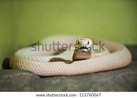 A white cobra is any of several species of snake - stock photo