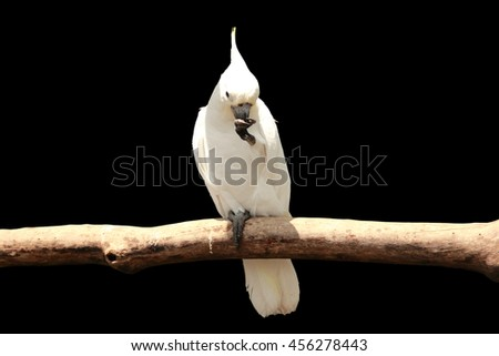 A white cockatoo parrot sitting on a tree branch, isolated on black - stock photo