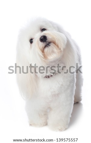 A white Coton de Tulear dog. He is tilting his head with a look of inquisitiveness or confusion. This rare breed is related to the Bichon Tenerife & Tenerife Terrier. Isolated on a white background. - stock photo