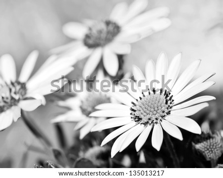 A white daisy in the sky aged - stock photo