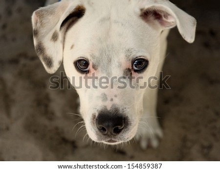 A white dog looking up - stock photo