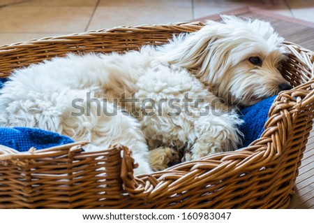 A white dog relaxing in is wicker bed - stock photo