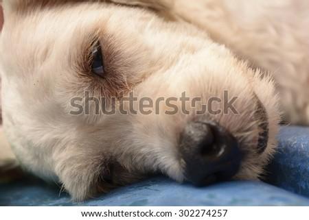 A white dog sleeping  - stock photo