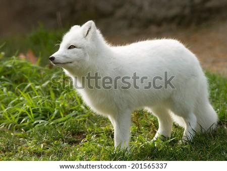 A white fox - stock photo