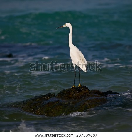 A White Heron stands on an rock by the sea looking for prey  - stock photo