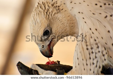 A white in color falcon eating raw meat, given as a reward by its trainer, during a falconry show in the United Arab of Emirates. Falconry is an important aspect of the Arabian culture. - stock photo