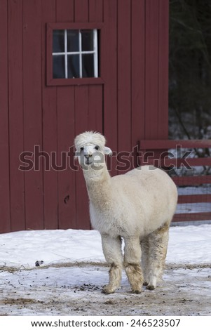 A white lama on a farm in New England. - stock photo