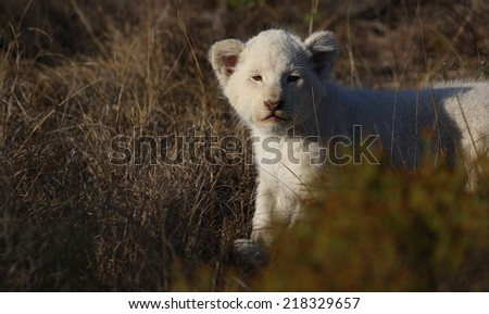 A white lion cub in golden morning light. - stock photo