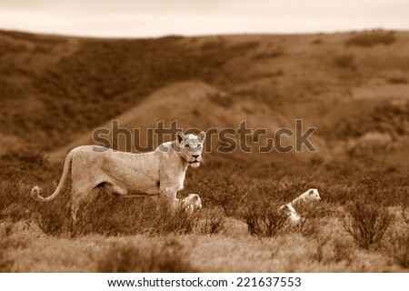 A white lion cub plays with his mother in this sepia tone image. - stock photo