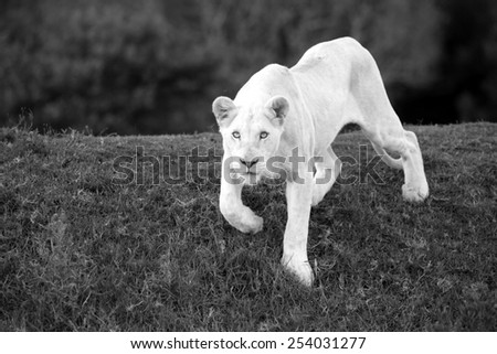 A white liones coming down a grass bank stares at the camera with her intense blue eyes. - stock photo