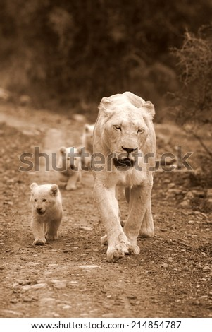 A white lioness and her cubs in this sepia tone photo - stock photo