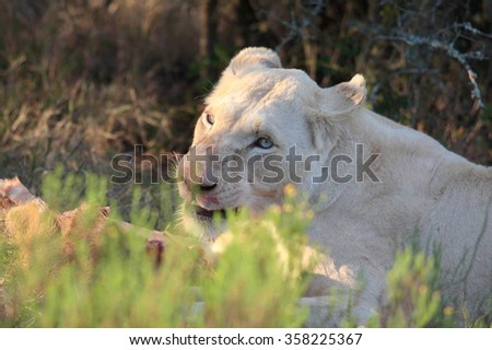A white lioness full of blood after a kill. - stock photo
