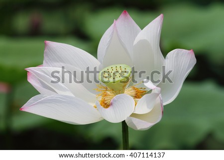 A white lotus flower blossom among green foliage - stock photo