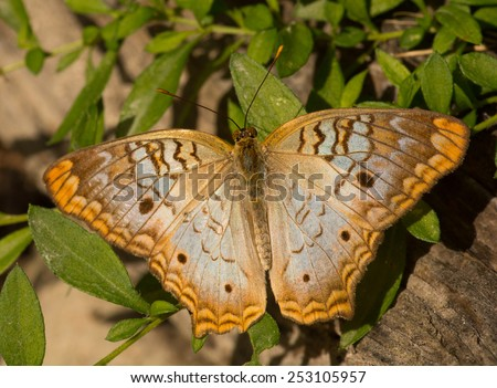 A White Peacock butterfly lands on some low growing vegetation in a south Florida park. - stock photo