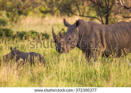 A white rhino mother and her baby calf - stock photo