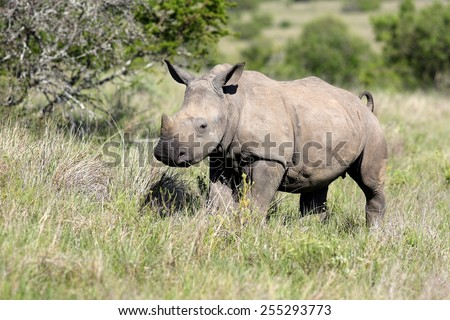 A white rhino / rhinoceros calf portrait in sepia tone - stock photo