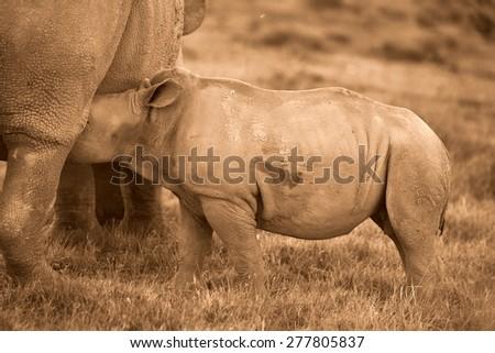A white rhino / rhinoceros calf suckling/drinking in this image. - stock photo