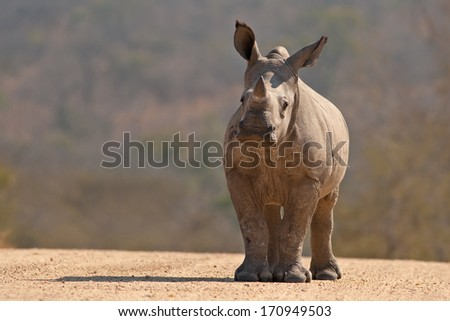 A White Rhinoceros calf in Kruger National Park, South Africa - stock photo