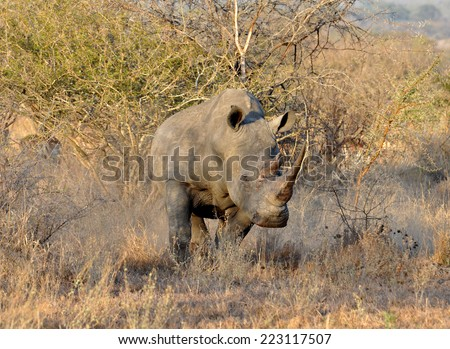 A White Rhinoceros (Ceratotherium simum) in the Kruger National Park, South Africa. - stock photo