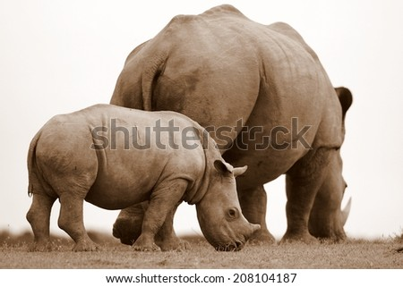 A white rhinop calf grazers next to her mom. South Africa - stock photo