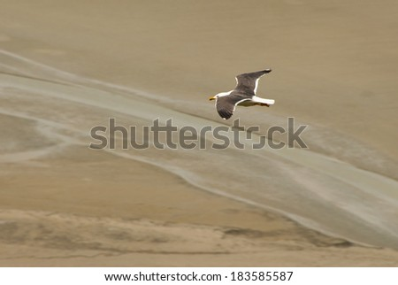 A white seagull with fully spread wings flying over the sand of Mont Saint-Michel beach during low tide - stock photo