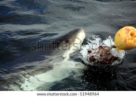 a white shark tries to catch the bait at a cage diving in gaansabi, south africa - stock photo