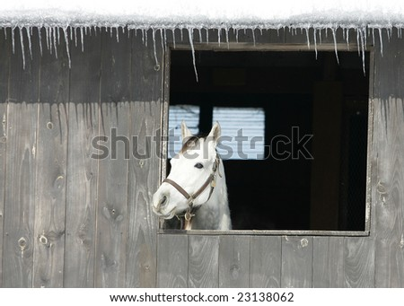 A white Stallion looks through his barn window. - stock photo