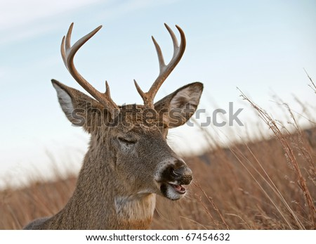 A white-tailed buck (Odocoileus virginianus) laying in the meadow in the Blue RIdge Mountains of Virginia, just off of Skyline Drive. - stock photo