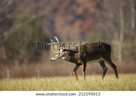 A white-tailed deer buck - stock photo
