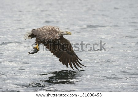 A White-tailed Eagle flying back to the nest with food for his young brood of chicks. - stock photo