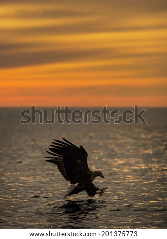 A White tailed Eagle hunting at sunset off the Norwegian coastline is about to snatch a meal from the water. - stock photo