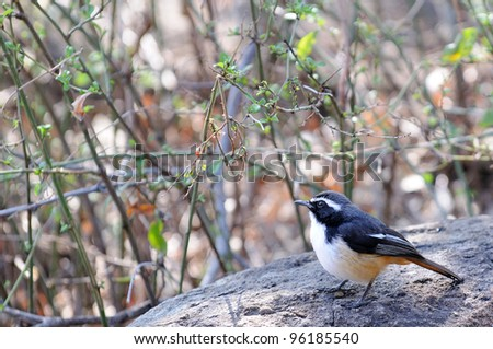 A white throated robin chat - stock photo