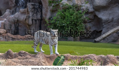 A white tiger in its nature enclosure. - stock photo
