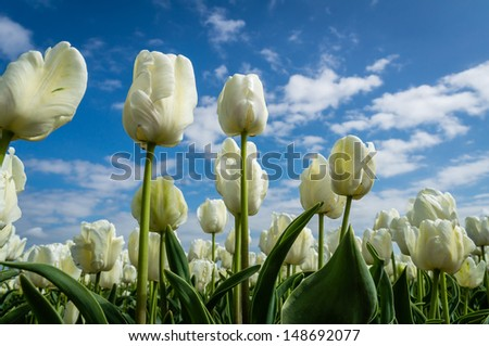 A white tulip field against a blue sky - stock photo