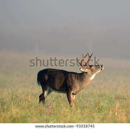 A whitetail buck lip curling during the rut on a foggy morning - stock photo