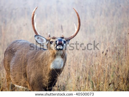 A whitetail deer buck doing a lip curl during the rutting season smelling for a female doe. - stock photo