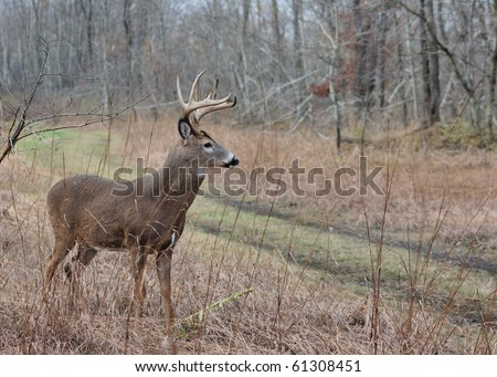 A whitetail deer buck standing in a field during the rutting season. - stock photo
