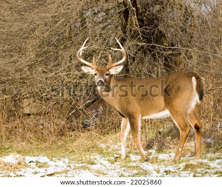 A whitetail deer buck standing in the snow. - stock photo