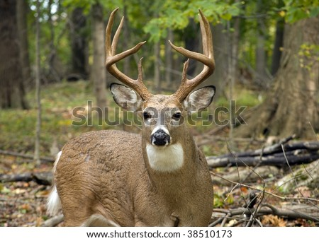 A whitetail deer buck standing in the woods. - stock photo