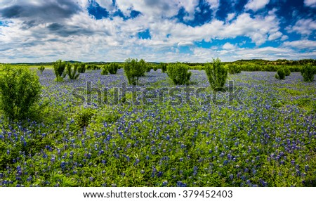 A Wide Angle View of a Beautiful Field or Meadow Blanketed with the Famous Texas Bluebonnet (Lupinus texensis) Wildflowers.  An Amazing Display at Muleshoe Bend in Texas. - stock photo