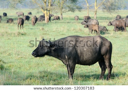 A WILD African buffalo, Lake Nakuru, Kenya - stock photo