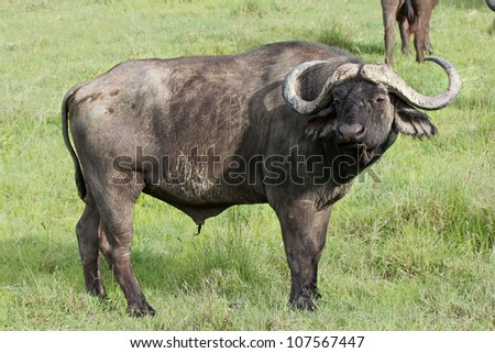 A WILD African Buffalo watches closely Lake Nakuru, Kenya, Africa - stock photo