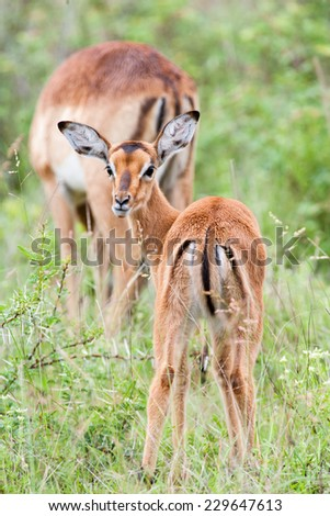 A wild baby Impala antelope feeding on wet grass in the rain - stock photo