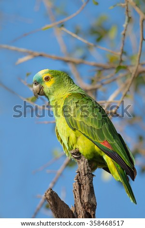 A wild Blue fronted Parrot also known as Blue fronted Amazon (Amazona aestiva) perched in a tree against a blue sky and blurred natural background, The Pantanal, Brazil - stock photo