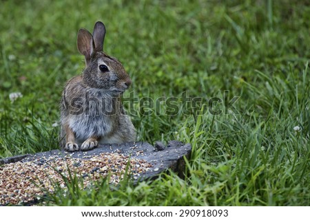 A wild brown rabbit stands alert in front of a pile of bird seed amid a field of grass.  - stock photo