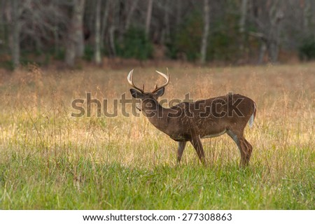 A wild deer (Cervidae) watches for predators  in Cades Cove in the Great Smoky Mountain National  Park along the Tennessee and North Carolina border. - stock photo