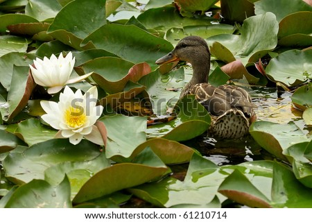 A wild duck swim among water lilies - stock photo
