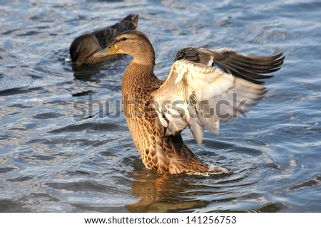 A wild duck swims in the river - stock photo