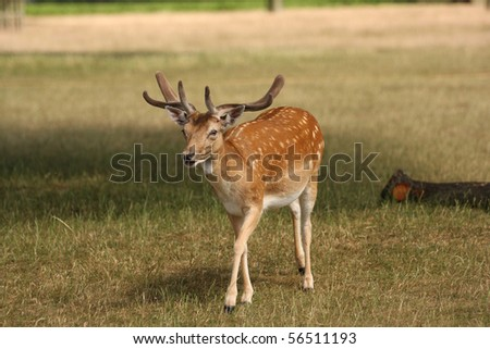 A wild fallow deer stag walking towards the camera on a sunny summers day. This was taken in Bushy Park in London. - stock photo