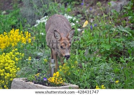 A wild female roe deer eating flowers in a garden - stock photo